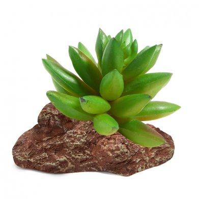 Фото Растение Laguna